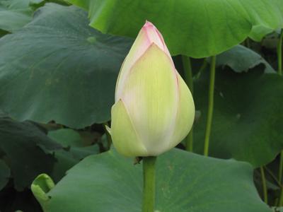 白莲花含苞待放图2